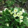 Primroses beside the track, College Lake