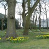 Daffodils at Chipstead