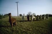 Alpacas on footpath