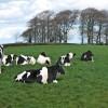 Cows at Castle Rook Farm