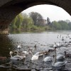Swans under Bewdley Bridge