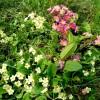 Primula vulgaris; two forms