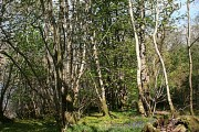 Woods by Fearnach Bay