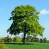 Fine specimen oak