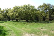 Oak Grove in 'The Thicks', part of Staverton Park
