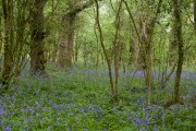 English Bluebells in narrow woodland west of Manor Farm