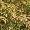 Dogwood leaves in spring, near Waterperry
