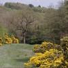 Gorse bushes flowering  near Birley