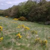Gorse flowering by the Birley Brook