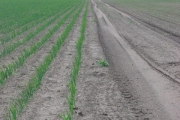 Newly sown crops.