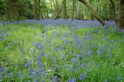 A carpet of bluebells