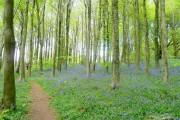 Coed Cefn; bluebell woods 2009 4