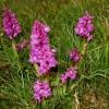 Orchids, Cressbrook Dale National Nature Reserve