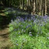 Bluebells in Fownhope Park Wood