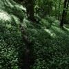 Wild garlic in Fownhope Park Wood