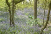 Bluebells at Bathpool
