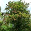 Pink hawthorn in hedge near Arger Fen