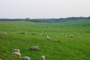 Lamb on the hoof