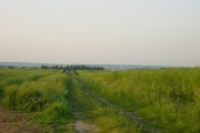Rape fields