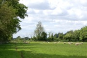 Sheep grazing west of Gayton