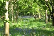 Bluebells in Cangsley Grove