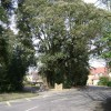 Holm Oak, Myton Lane