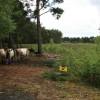 Cattle on Brentmoor Heath