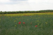 Crop Field with Poppies