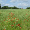 Oat crop, Brockhampton