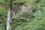 Oak woods opposite Shielfoot