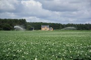 Potato irrigation