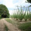 Hop bines at Little Pell Farm
