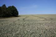 Wheat field near Symonds Farm