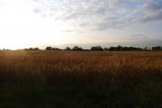 Wheat Field north of Powder Mill Lane