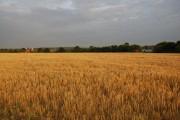 Golden Wheat field, Hawarden Farm (2)