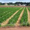 Strawberry field near Adsborough