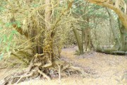 Ancient Yew Woodland