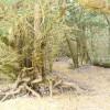 Ancient Yew Woodland