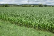 Healthy crop