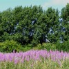 Rosebay willowherb and poplars at New Mill