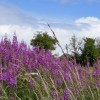 Rosebay willowherb leads the way to a ruined building
