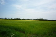 Barley in Allerthorpe