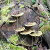 Bracket Fungi on an old log near the hide, Tringford Reservoir