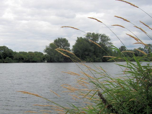 Grasses blowing in the Wind at Tringford Reservoir