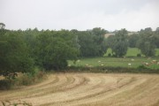 Cattle, Portley Moor