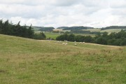 Sheep pasture near Strathmiglo