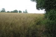Oilseed rape, The Hundred