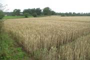 Wheatfield above Kimbolton