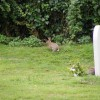 Rabbits in the churchyard of St Mary Magdalene C of E Tower, Friston