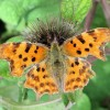 Comma Butterfly on Burdock, near Wilstone Reservoir